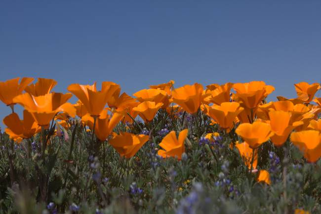 California Poppies Horizontal with Blue Sky