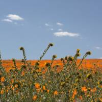 Fiddlenecks and Poppies by Eileen Ringwald