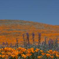 Poppies and Lupine by Eileen Ringwald