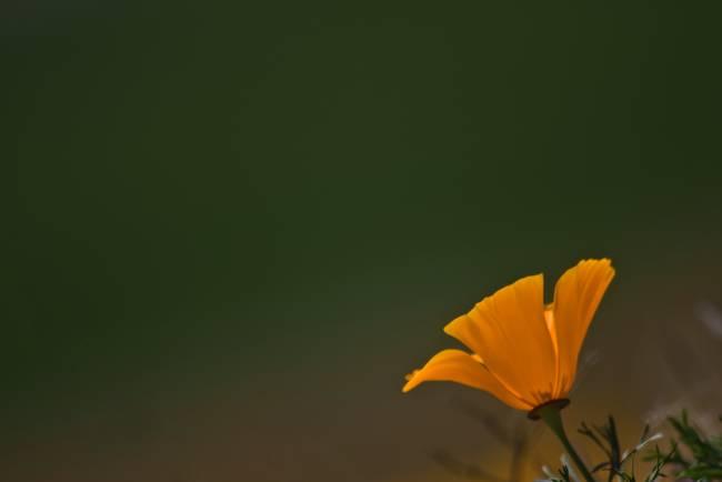 Single Poppy Against a Field of Green