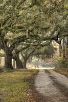 Southern Drive Live Oaks with Spanish Moss