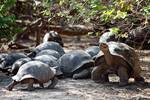 Clan of Giant Tortoises at Darwin Research facilit