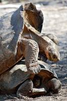 Mating Giant Tortoise