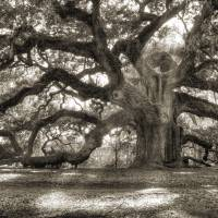 """Majestic Angel Oak Tree"" by DustinKRyan"