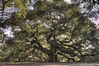 Giant Angel Oak Tree