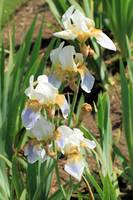 White and lilac irises