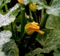 Courgette flower 2