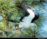 The Swallow-tailed Kite