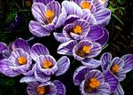 Spring Time Crocus, Taken in 2009, Image 2