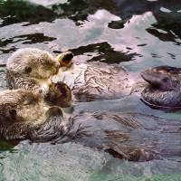"""Sea Otters Holding Hands"" by buffaloworks"