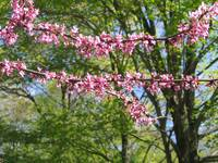 Redbud, Early Spring