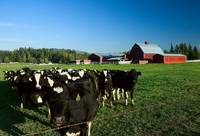 Dairy Cattle & Red Barn