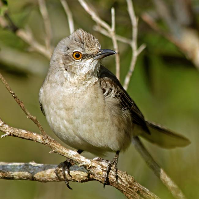 Nothern Mockingbird