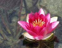 Water Lily #3