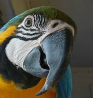 GCEBS - Birdie the Blue and Gold Macaw