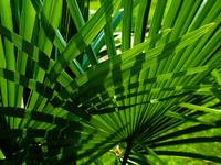 Fan Palm Weave