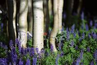 Aspens and Lupine