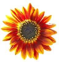 Orange Sunflower/Tournesol