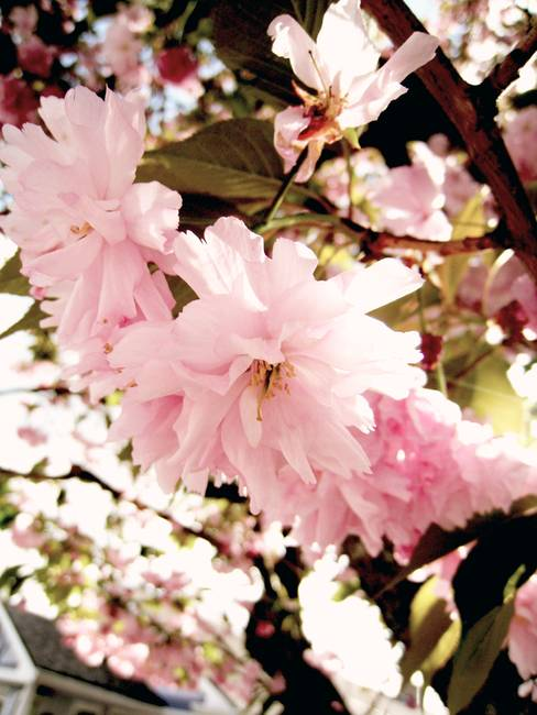 Cherry Blossom by Chelsey Andrews