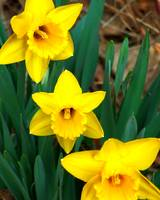 Daffodils Three