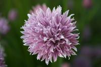 Purple Chive bloom macro