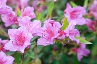Pink Azalea under flash