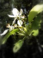 apple blossoms #4