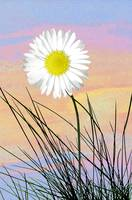 Daisy in front of pastel sky