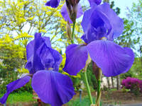 Blue Purple Iris Flower Landscape art Baslee