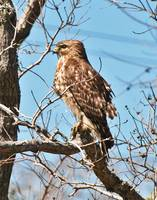 Immature Coopers Hawk