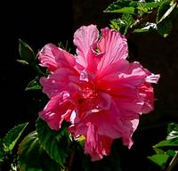 Tropical Flower - Pink Hibiscus