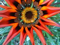 Orange tiger flower 2 (i)