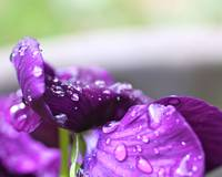 Raindrops on Purple Pansy