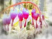 fairyland bleeding hearts