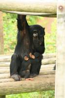 Mother and Baby Chimpanzee 3