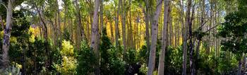 The Aspens of Lundy Canyon (Panorama)