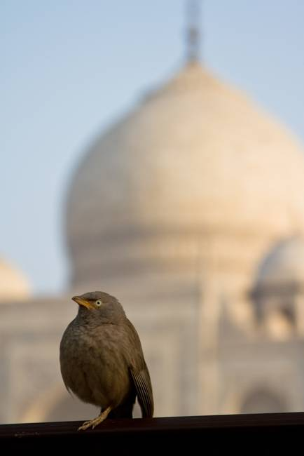 Bird in front of the Taj Mahal