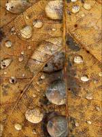 rain magnified leaf