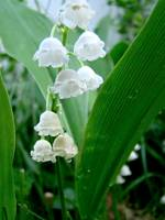 Lily of the Valley 2010B