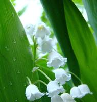 Lily of the Valley 2010D
