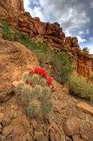 Nine Mile Canyon Cacti