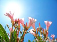 oleander in the sun