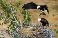Bald Eagle Nesting Series - By the Sweat of Thy Br