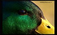 Ducks' Eye