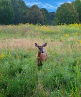 Deer in the Meadow