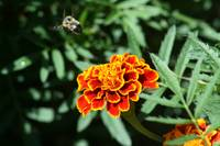 Marigold with bee