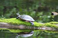 Turtle on mossy log
