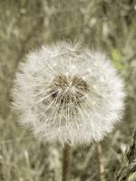 Dandelion flower soft nature design