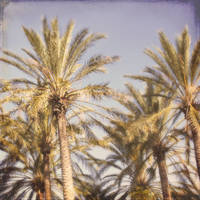 California Palms