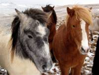 Cold Horses